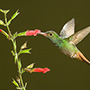 Rufous-tailed hummingbird with flowers © Greg Downing
