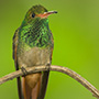Rufous-tailed hummingbird © Greg Downing