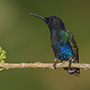 Velvet-purple coronet on branch © Greg Downing