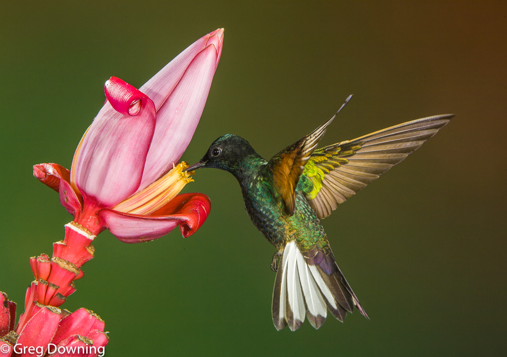 Velvet-purple coronet pink flower by Greg Downing