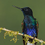 Velvet-purple coronet © Greg Downing