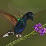 Velvet-purple coronet wing action © Greg Downing