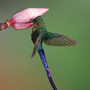 Violet-tailed sylph © Greg Downing