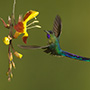 Violet-tailed sylph with yellow flower © Greg Downing