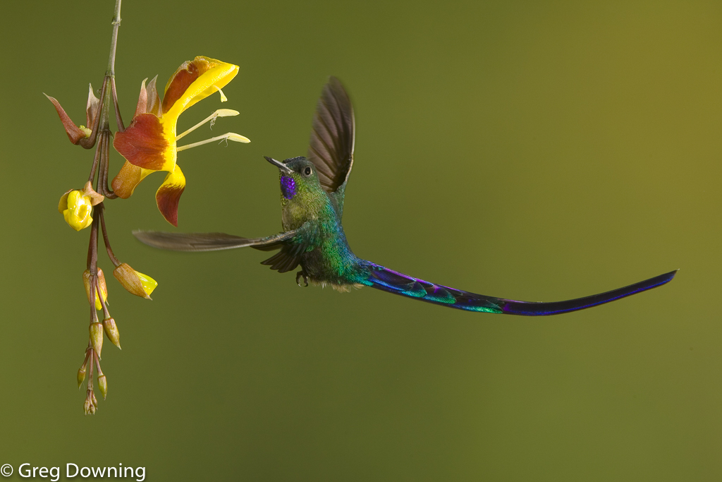 Violet-tailed-sylph by Greg Downing