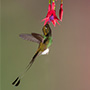 Booted racket tail © Greg Downing