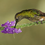 Buff-tailed coronet with purple flower © Greg Downing