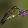 Buff-tailed coronet with purple flowers © Greg Downing