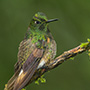 Buff-tailed coronet on branch © Greg Downing