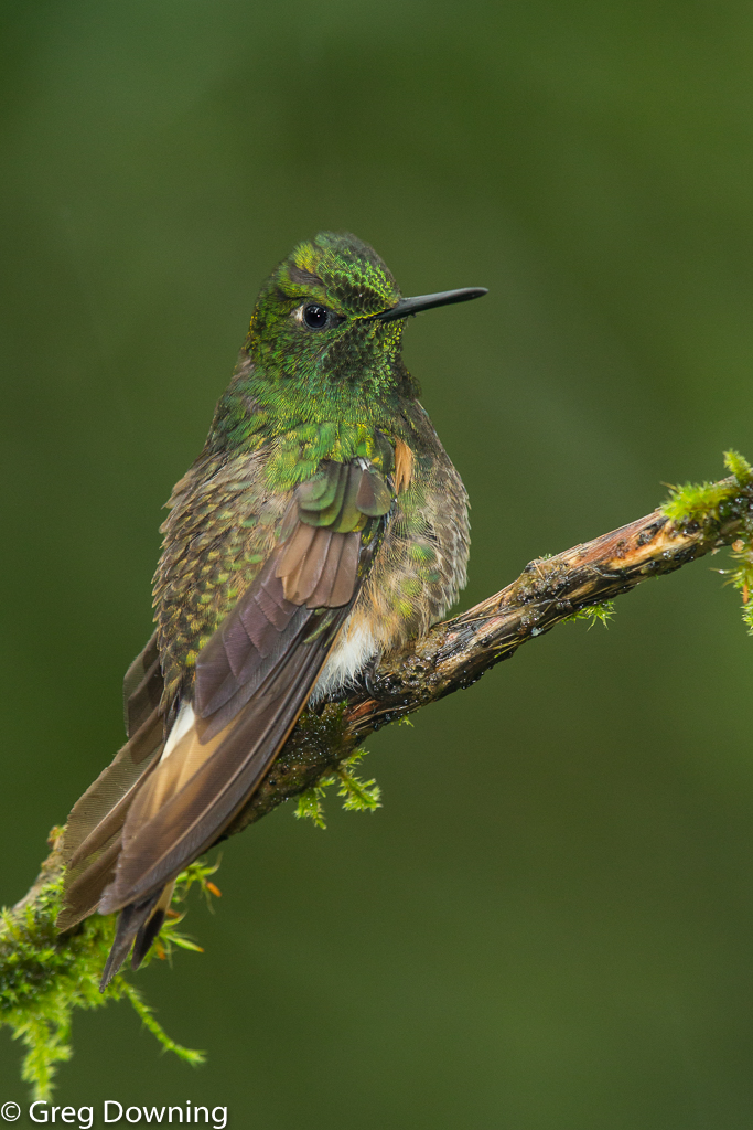 Buff-tailed coronet by Greg Downing