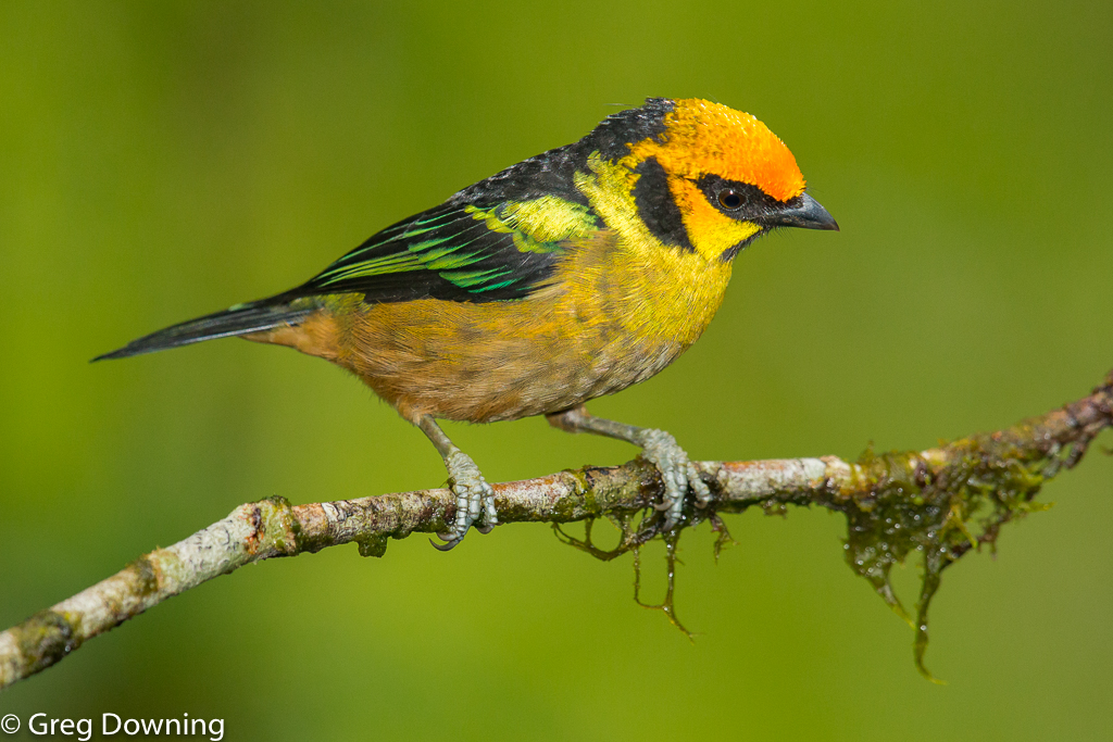 Flame-faced tanager by Greg Downing