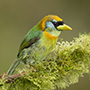 Red-headed barbet female © Greg Downing