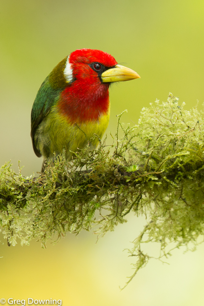 Red-headed barbet by Greg Downing