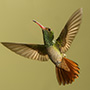 Rufous-tailed hummingbird in flight © Greg Downing