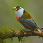 Toucan barbet on branch © Greg Downing