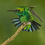 Western emerald on branch © Greg Downing