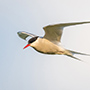 Arctic tern in flight © Nikhil Bahl