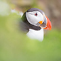 Atlantic puffin in Iceland © Nikhil Bahl