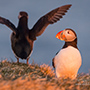 Atlantic puffin with another bird © Nikhil Bahl