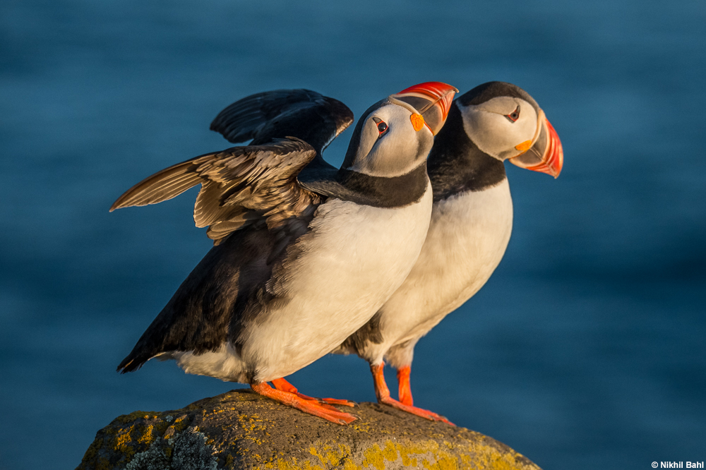 Atlantic puffin pair on cliff © Nikhil Bahl