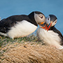 Atlantic puffin pair nest © Nikhil Bahl