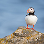 Atlantic puffin on rocks © Nikhil Bahl