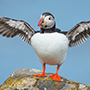 Atlantic puffin wingspan © Nikhil Bahl