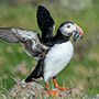 Atlantic puffin with fish © Nikhil Bahl