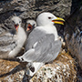 Black-legged kittiwake family in Iceland © Nikhil Bahl