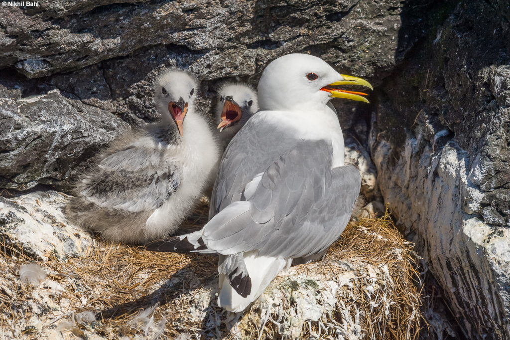 Black-legged kittiwake family Iceland © Nikhil Bahl