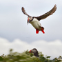 Atlantic puffin in flight with food © Jóhann Óli Hilmarsson