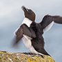 Razorbill in motion © Nikhil Bahl