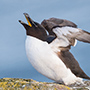 Razorbill stretching its wings © Nikhil Bahl