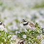 Small birds in Iceland © Nikhil Bahl