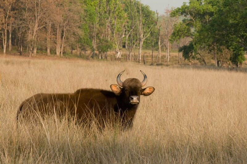 Bison, India