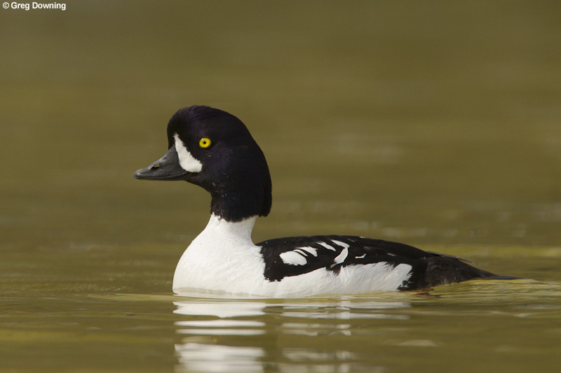 Barrow's goldeneye © Greg Downing