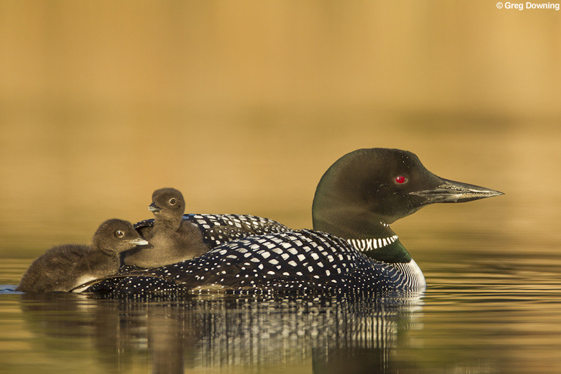 Common loon with chicks © Greg Downing