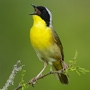 Common yellowthroat © Alan Murphy