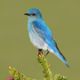 Mountain bluebird © Alan Murphy