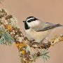 Mountain chickadee © Alan Murphy
