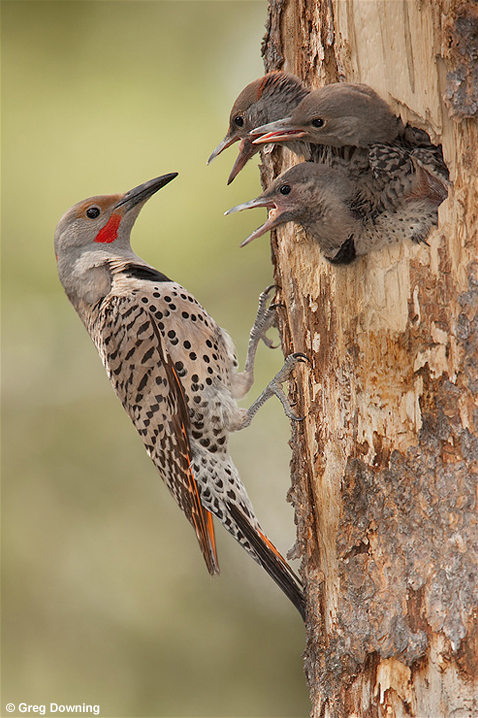 Northern flicker © Greg Downing