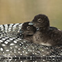 Common loon chicks © Greg Downing