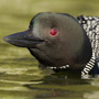 Common loon closeup portrait © Greg Downing