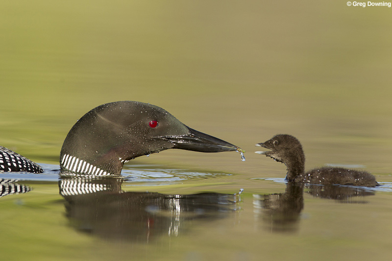 Common loon feeds chick © Greg Downing