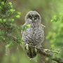 Great gray owl on branch © Alan Murphy