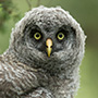 Great gray owl chick © Greg Downing