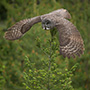 Great gray owl flight © Greg Downing