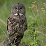 Great gray owl in grass © Greg Downing