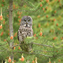 Great gray owl perched © Alan Murphy