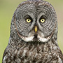 Great gray owl portrait © Greg Downing